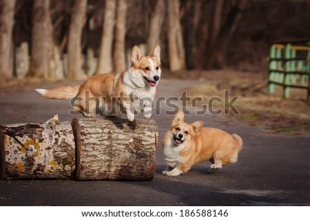 Welsh Corgi on autumn walk - stock photo