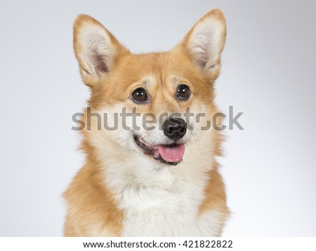Welsh Corgi Pembroke dog portrait. Image taken in a studio.
