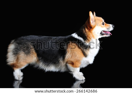 Welsh Corgi Pembroke, exterior - stock photo