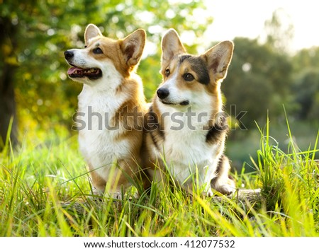 Welsh Corgi Pembroke on the grass in summer sunny day - stock photo