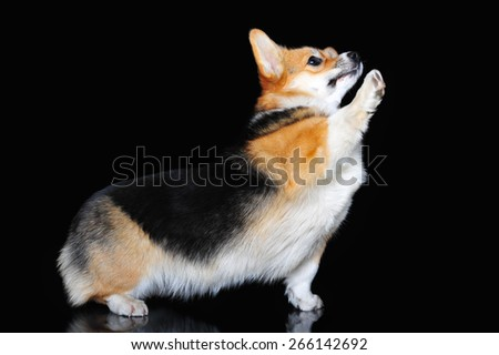 Welsh Corgi Pembroke perform tricks - stock photo