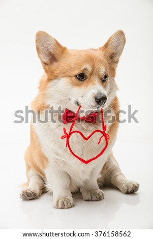 Welsh corgi pembroke posing with a red heart shape in its mouth looking sideways - stock photo