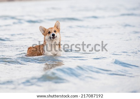 Welsh corgi pembroke puppy standing in the waves - stock photo