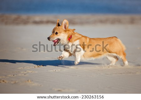 welsh corgi pembroke running on the beach - stock photo