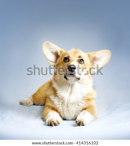 welsh corgie puppy laying on a blue blanket - stock photo