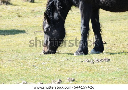 welsh mountain pony, grazing in detailed profile