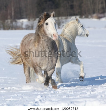 Welsh ponies, 2 years old grey mare and 16 years old white mare - stock photo