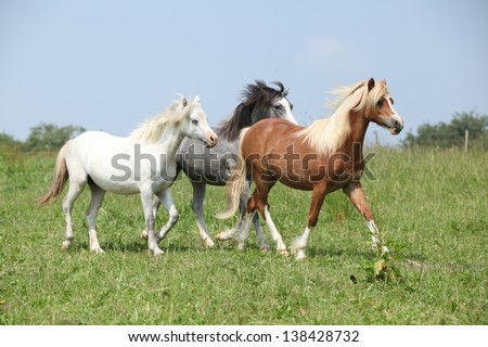 Welsh ponnies running together on green pasturage