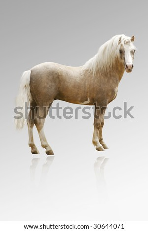 welsh pony isolated on grey with reflection