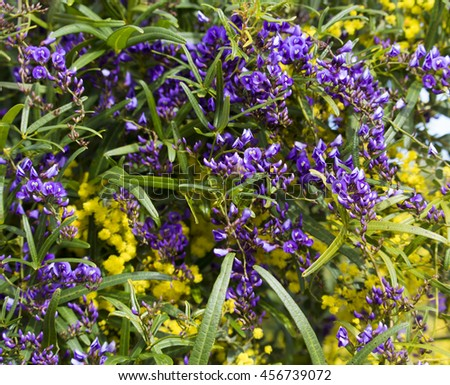 West Australian wildflower native creeper Hardenbergia violaceae with deep purple pea shaped flowers in winter bloom  twined with yellow wattle  acacia adds color to the bush and parklands  in winter. - stock photo