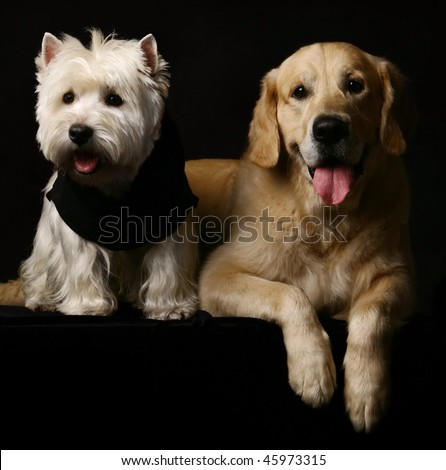 West haigland white terrier and golden retriever poising on studio