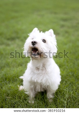 West Highland Terrier in Grass - stock photo