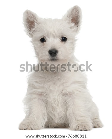 West Highland Terrier puppy, 7 weeks old, in front of white background - stock photo