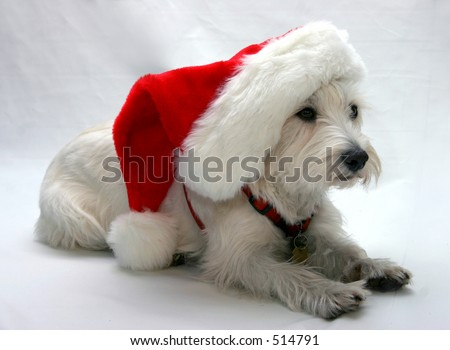 West Highland Terrier wearing a Santa hat - stock photo