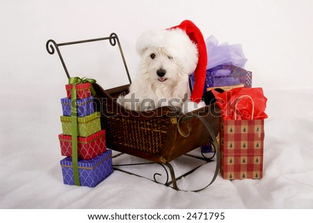West Highland Terrier with red Santa hat on sitting in a miniature sleigh surrounded by gift bags - stock photo