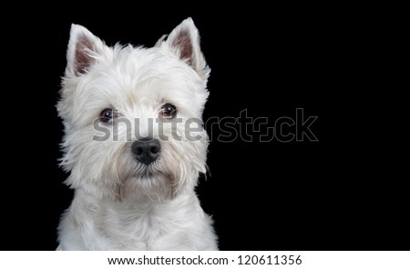 West Highland Terrior Looking into lens, isolated on black. - stock photo