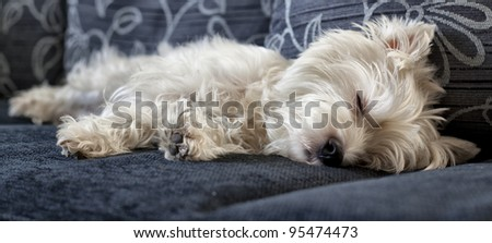 West highland white terrier - stock photo