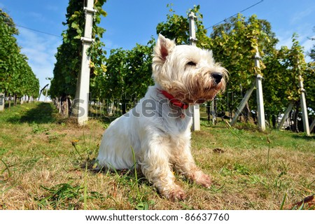 West Highland White Terrier - autumn scene - stock photo