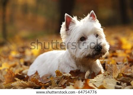 West Highland White Terrier - autumn scene lit by setting sun - stock photo