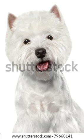 West Highland White Terrier. Close-up portrait on a white background - stock photo
