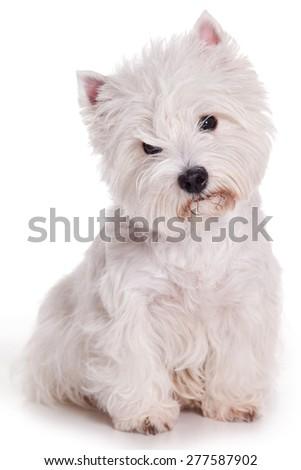 West Highland White Terrier dog  sitting isolated on white - stock photo