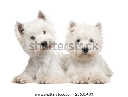 West Highland White Terrier in front of a white background - stock photo