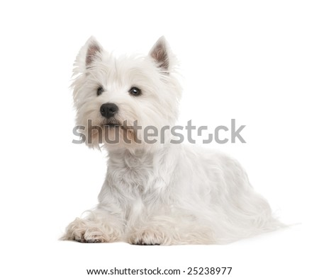 West Highland White Terrier () in front of a white background