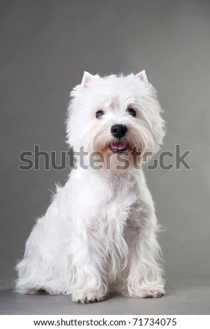 West Highland White Terrier in front of grey background - stock photo