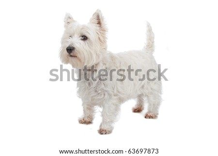 West Highland White Terrier isolated on white - stock photo