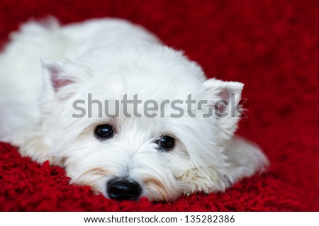 West highland white terrier lying down and looking lonely on the red carpet - stock photo