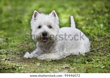 West Highland White Terrier lying on the grass - outdoor scene - stock photo