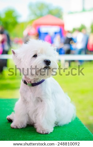 west highland white terrier on an exhibition outdoors - stock photo