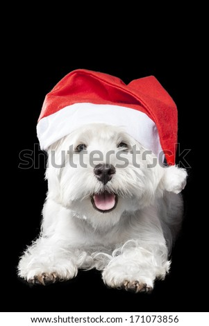 West Highland White Terrier on black background in studio