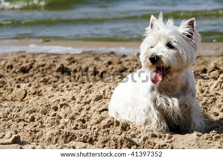 West Highland White Terrier on the beach
