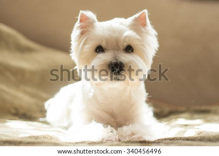 West highland white terrier portrait - stock photo
