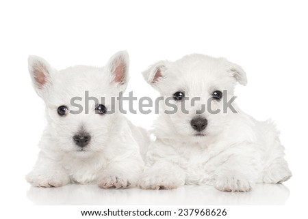 West highland white terrier puppies lying on white background - stock photo