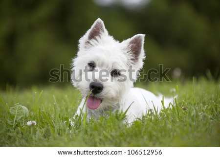 West Highland White Terrier puppy - stock photo