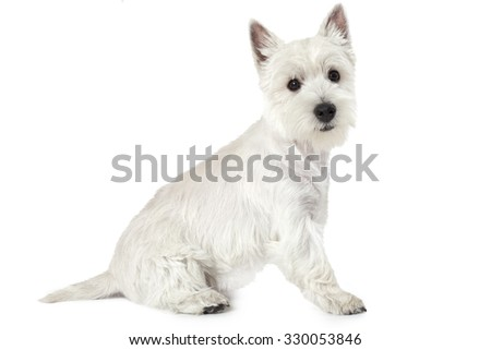 West Highland White Terrier puppy, four months old, sitting against white background