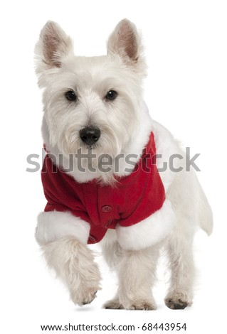 West Highland White Terrier wearing Santa outfit, 8 months old, in front of white background