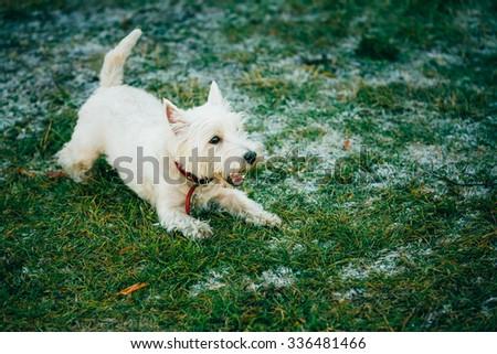 West Highland White Terrier - Westie, Westy Dog Run in Grass - stock photo