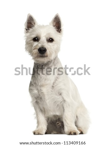West Highland White Terrier, 2 years old, sitting against white background - stock photo