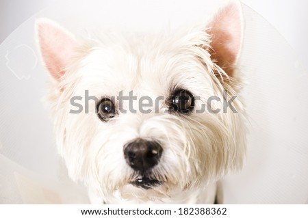 West higland white terrier wearing an elizabethan collar  - stock photo