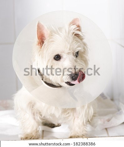 West higland white terrier wearing an elizabethan collar