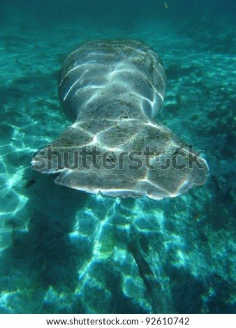 West Indian Manatee Tail - stock photo
