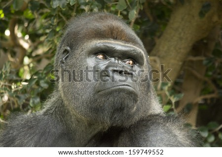 West lowland silver back gorilla looking over shoulder - stock photo