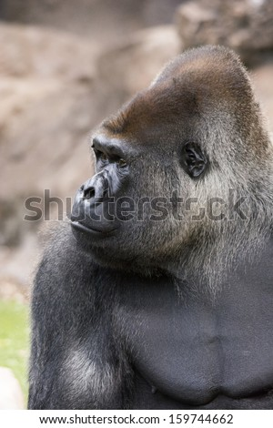 west lowland silverback gorilla looking to the left in black and white