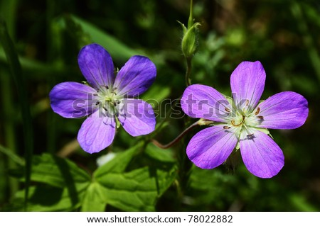 West Virginia wildflower, Wild Geranium, Geranium maculatum, Geraniaceae - stock photo