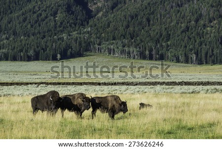 West Yellowstone, Wyoming, USA. Bison laze in open pasture at dawn surrounded by grassland and pine forest in Yellowstone National Park, Wyoming, USA. - stock photo