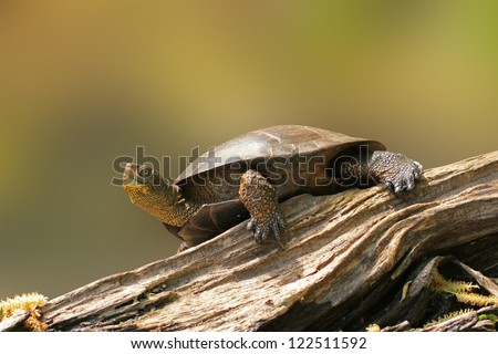 Wester pond turtle on a lof sunbathing - stock photo