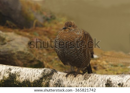 Western Capercaillie, [Tetrao tetrix], Wood Grouse, Heather Cock, Capercaillie